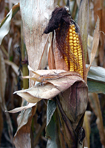 mature ear of corn